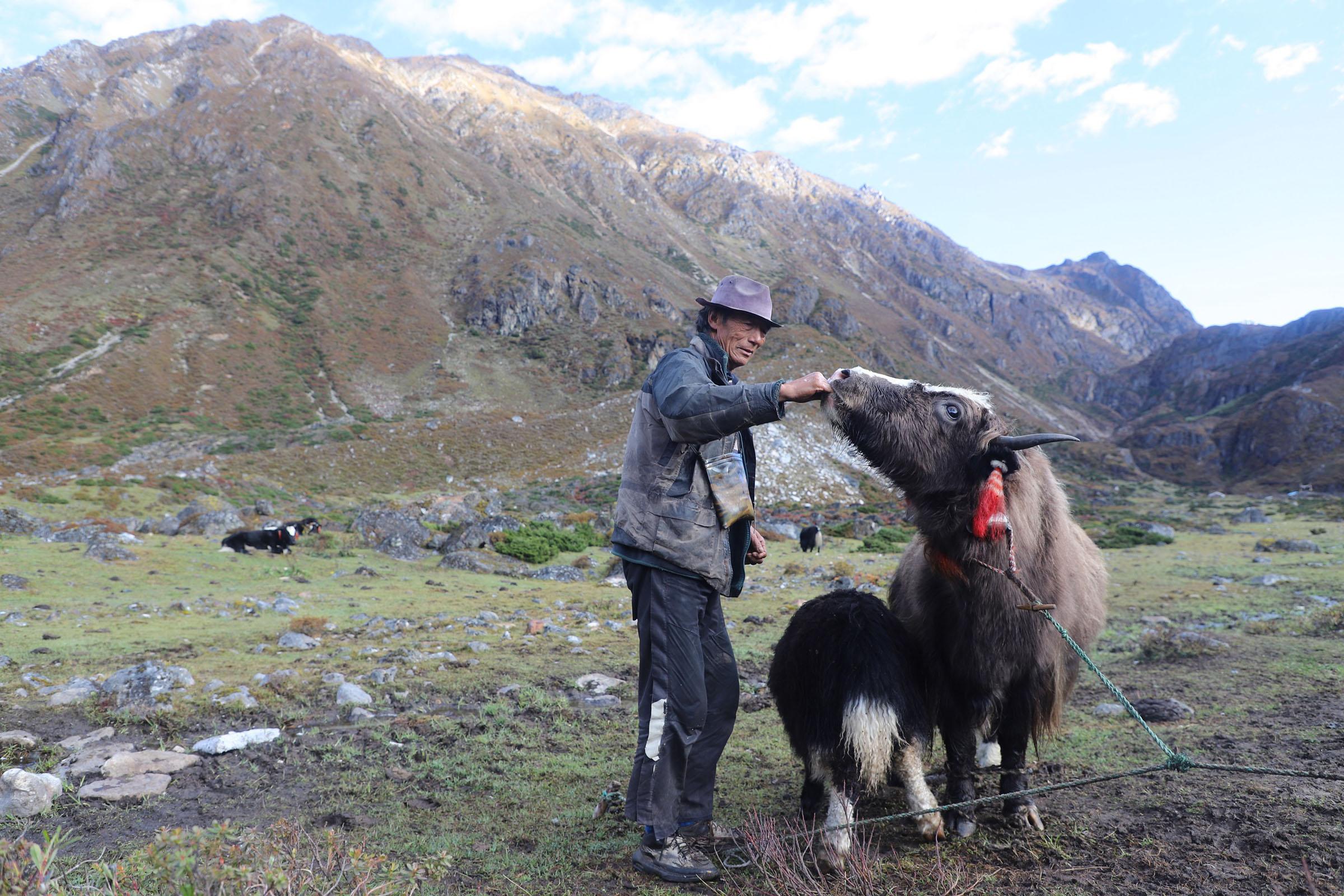 समुद्र सतहदेखि चार हजार २०० मिटरमा पर्ने चीनको सीमावर्ती क्षेत्र ताप्लेजुङको फक्ताङलुङ गाउँपालिका—७ मौवटारस्थित गोठमा याकलाई नुन खुवाउँदै एक किसान। तस्बिरः दिलकुमार लिम्बु/रासस