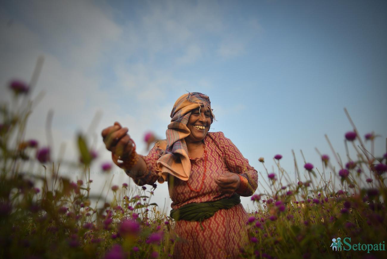 भक्तपुरको गुन्डुमा बिहिबार बिहान मखमली टिप्दै एक किसान। तस्बिरः निशा भण्डारी/सेतोपाटी