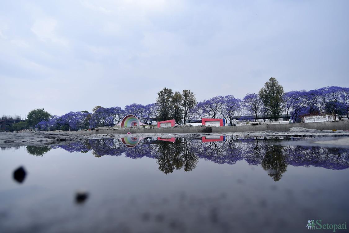 खाली गरेको खुलामञ्चमा जमेको पानीमा ज्याकरान्डाको छायाँ।तस्बिरः नारायण महर्जन