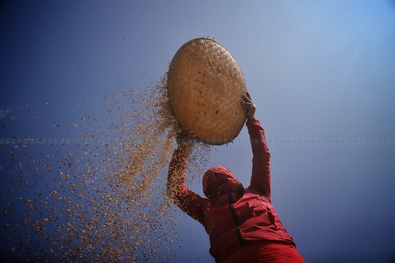 ललितपुरकोखोकनामा धान बत्याउँदै किसान। तस्बिर: निशा भण्डारी/सेतोपाटी