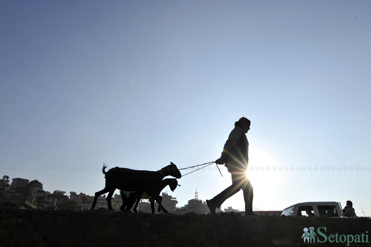 राजधानीको खसी बजारबाट खसी किनेर घरतर्फ लैजादै । तस्बिरः नारायण महर्जन/सेतोपाटी