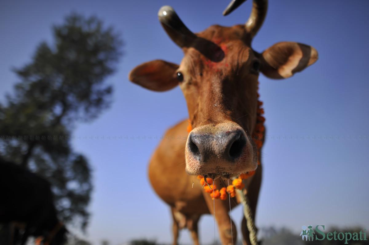 पुजिएको गाई। तस्बिरः नारायण महर्जन/ सेतोपाटी