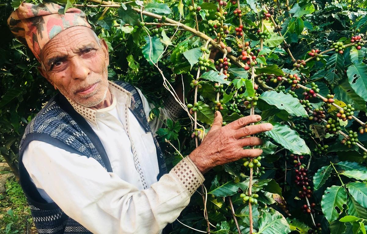रातीपोखरी, गुल्मीका ७१ वर्षे रविराज अर्याल। उनले कफी खेती गर्दै आएको झन्डै डेढ दशक भयो। तस्बिरः गिरीश गिरी/सेतोपाटी