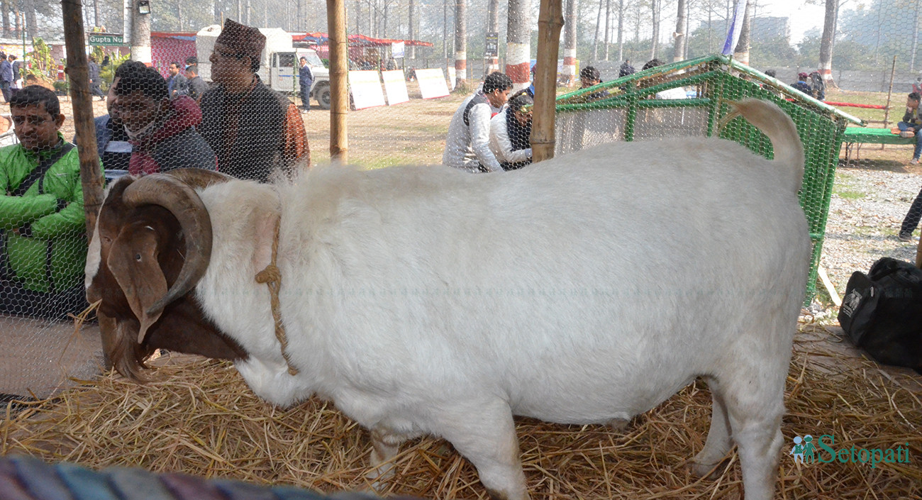 अर्घाखाँचीका किसानले पालेको १ सय ३८ किलोग्रामको बोका