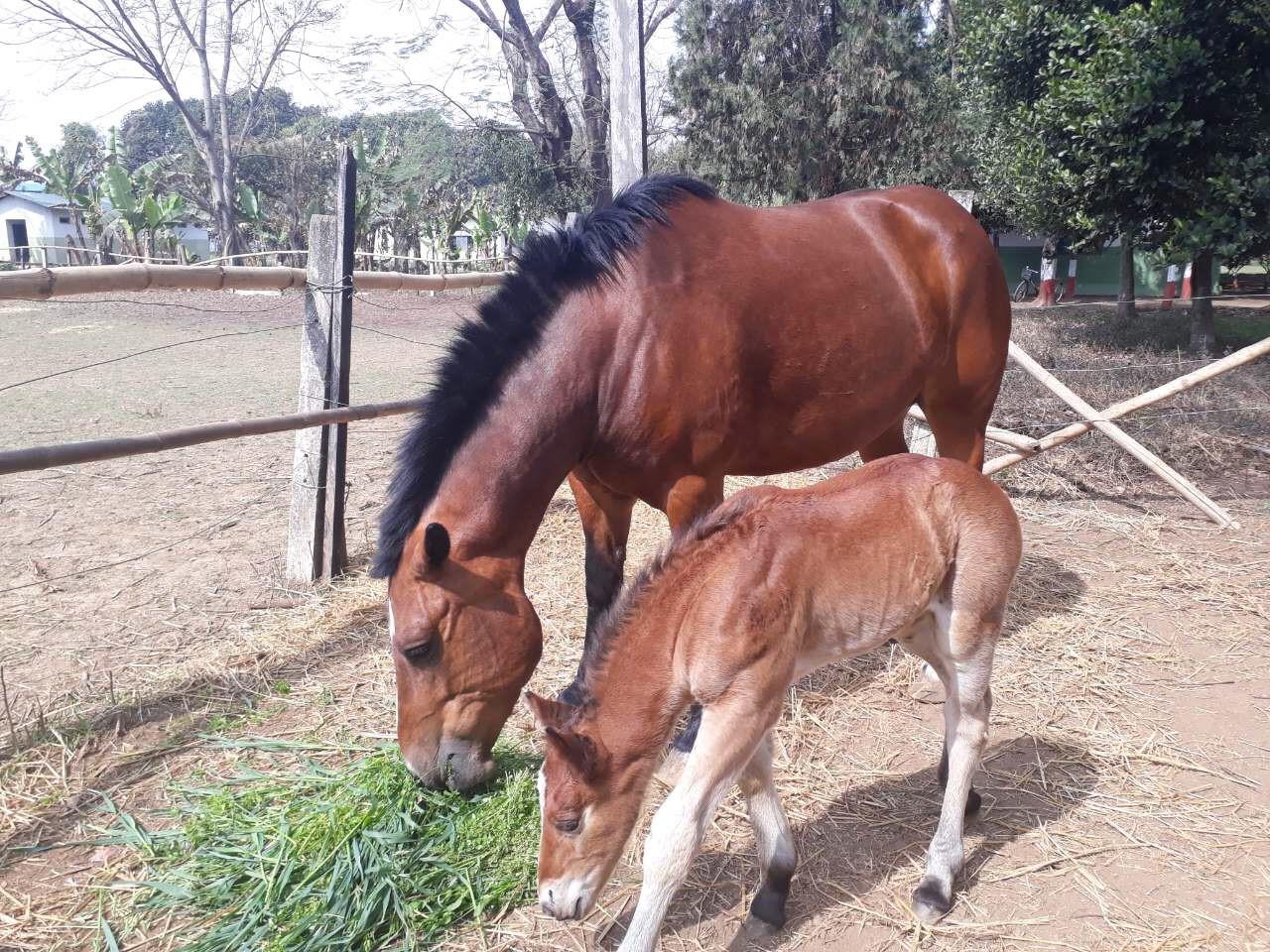 प्रजनन् केन्द्रमा हुर्किएका घोडा। तस्बिर: नेपाल क्याभलरी