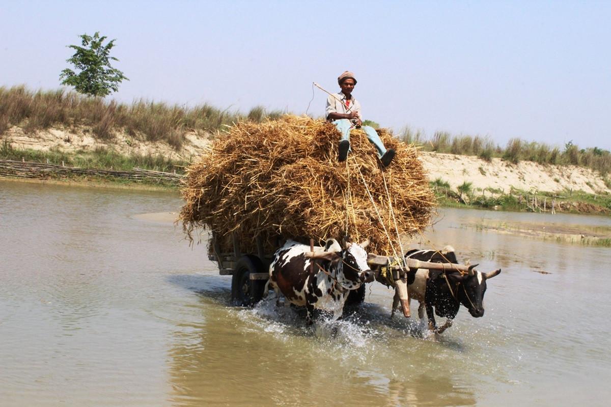 कञ्चनपुर देखतभूलीका किसान गोरु गाडामा गहुँ राखेर वनहरा नदी पार गर्दै । तस्बिरः राजेन्द्रप्रसाद पनेरु/रासस