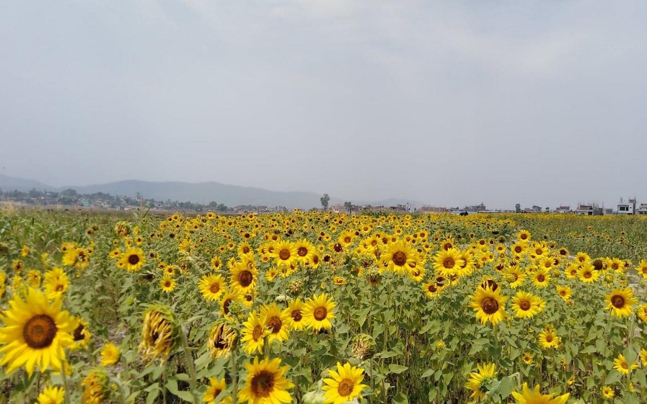 सुर्खेतको बुलबुले उद्यान नजिक रहेको सूर्यमुखी खेती। तस्विरःदिपकजंग शाही/सेतोपाटी