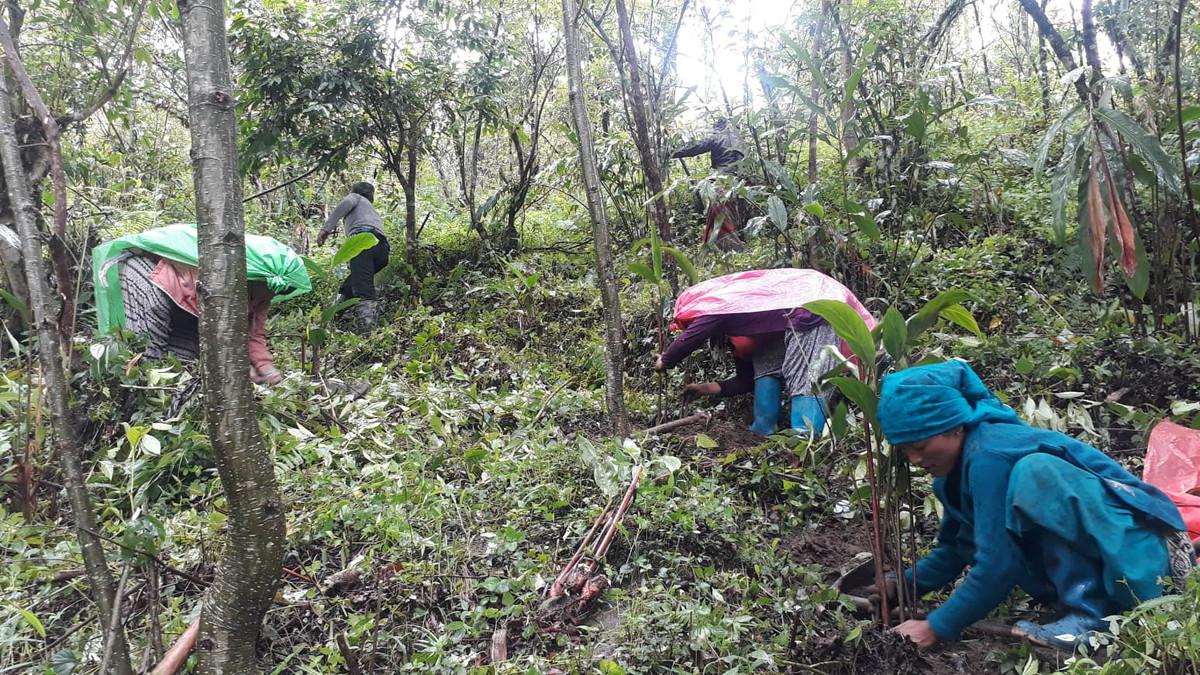 लमजुङको उत्तरी भेग मस्र्याङ्दी गाउँपालिका– ७ छिनखोलामा अलैँची रोप्दै अलैँची कृषक। तस्बिरः जनक श्रेष्ठ