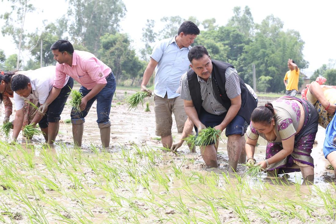 तुल्सीपुरका मेयर घनश्याम पाण्डेसहितको टोली धान रोपाई गर्दै। तस्वीर: नारायण खड्का/सेतोपाटी