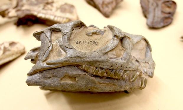 दक्षिण अफ्रिकाको संग्रहालयमा तीस वर्षदेखि रहेको डायनासोरको खप्पर।