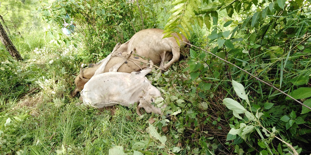 कटकुवास्थित भिरबाट फालिएका मृत गाई।तस्वीरः दिपकजंग शाही/सेतोपाटी