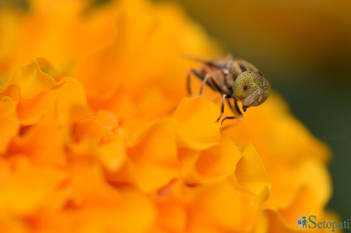 ललितपुरको जावलाखेल खेल मैदानमा सुरु भएको १३ औं गोदावरी फूलको प्रदर्शनीमा माहुरीले फूलबाट रस तान्दै। तस्बिरः नारायण महर्जन