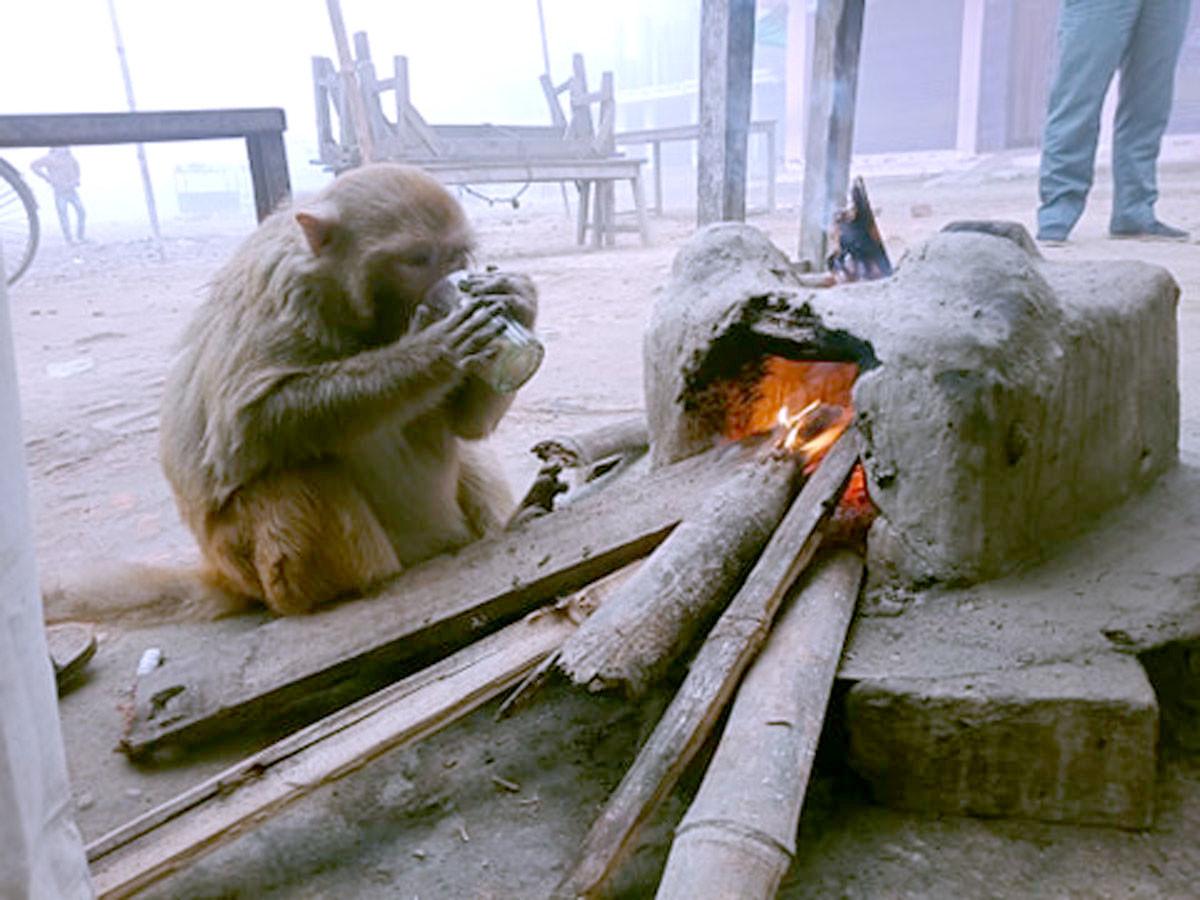 महोत्तरीको गौशालामा आगो ताप्दै चियाको चुस्की लिँदै बाँदर । तस्वीर : धनवीर महतो