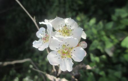 नेवारीमा 'पासी' भनिने नासपातीको फूल, जसको वैज्ञानिक नाम पाइरस पासिया हो। तस्बिर: लादोर्चे शेर्पा