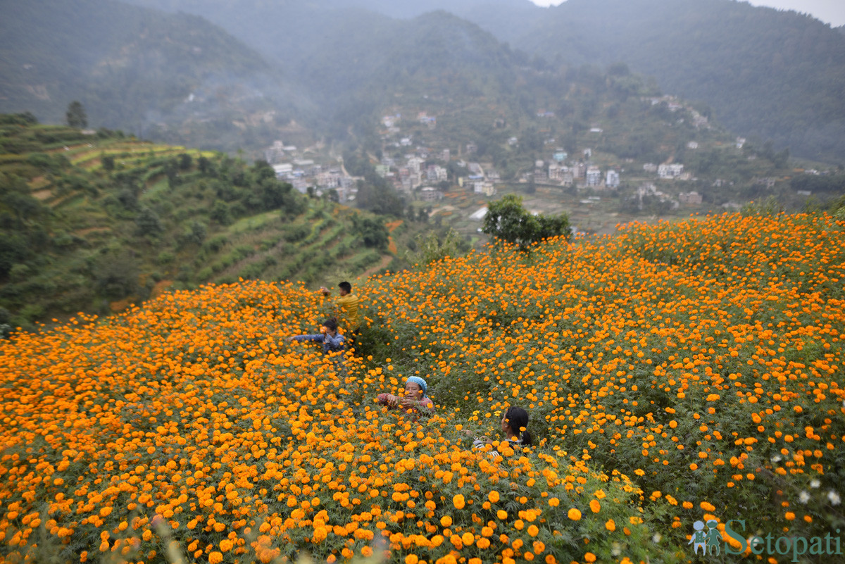 https://raracms.setopati.com/uploads/shares/2019/01/sujita/Marigold flowers for the Tihar Festival (1).JPG